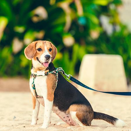 perro-beagle