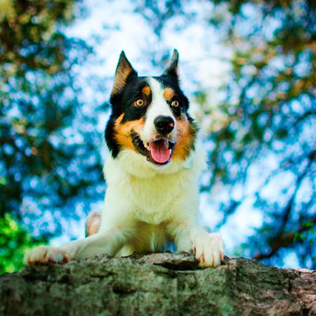 perro-border